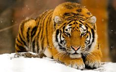 Eye of the tiger..