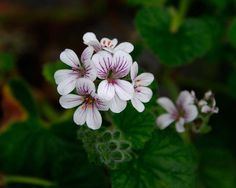Image result for pelargonium australe