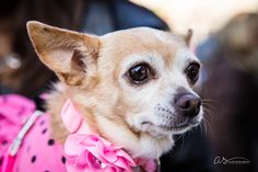 Cricket Cringle | Dog in Tutu in the street | Event Photography | Copyright 2015 Aliza Schlabach Photography | ByAliza.com