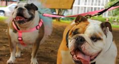 "THIS IS THE BEST MUSIC VIDEO EVER!!!! Music Video Premiere From ""American Authors"" Stars Adorable Bulldog Ready To Be Adopted"