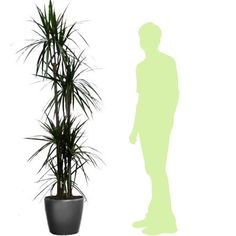 Une plante facile à vivre même sans trop de lumière. Plante seule ou rempotée dans un pot Lechuza à réserve d'eau (anthracite, blanc ou rouge).