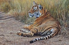 """A Quite Moment - Bengal Tiger Paintings - 16"""" x 24"""" - Acrylic - Price £POA Original Wildlife Paintings For Sale - Alan M Hunt Wildlife Paintings, Wildlife Art, Animal Paintings, Paintings For Sale, Original Paintings, Rusty Spotted Cat, Black Footed Cat, Sand Cat, Tiger Painting"""
