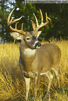 This is a great picture of a big buck, its a picture that makes you want to go hunting right now