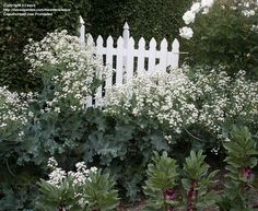 PlantFiles Pictures: Sea Kale (Crambe maritima) by saya