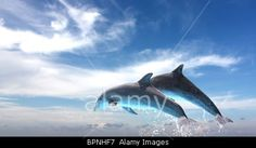 Royalty free stock photography from Alamy: Couple of dolphins jumping, on a blue sky background.