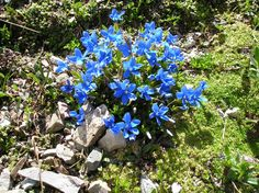 "Gentiana verna - or ""spring gentian"" - It is the county flower of Durham in the United Kingdom. It was first found in Britain by John Harrima"