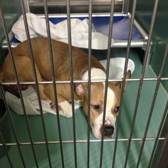 No Kill Animal Shelter, Animal Rescue, Nanny Dog, American Pitbull, All Gods Creatures, Find Pets, Pit Bulls, All Dogs, My Animal