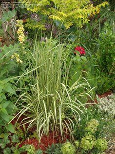 Feather Reed Grass, Feather Reed Grass 'Eldorado'  Calamagrostis acutiflora