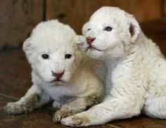 Two white lion cubs, an extremely rare subspecies of the African lion, were born on Dec. 9, in the Belgrade Zoo in Serbia, which now has five white lions. White lions are unique to the Timbavati area of South Africa; they are not albinos but a genetic rarity.