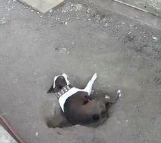 Boston Terrier Personality . Miniature Boston Terrier . Here is why I love Boston Terrier