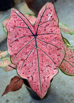 Rare Colorful Caladium bonsai plant Burnt Rose(jio ying)Elephant Ear Beautiful Bonsai Flower Potted Plants For Home Garde Rare Succulents, Planting Succulents, Planting Flowers, Shade Plants, Cool Plants, Exotic Plants, Tropical Plants, Bonsai Plants, Potted Plants