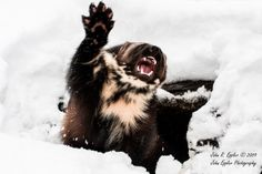 Baby Wolverine, clearly a chip off the old block. Baby Wolverine, Wolverine Animal, Beautiful Creatures, Animals Beautiful, Majestic Animals, Animals And Pets, Baby Animals, North American Animals, Animal Experiences