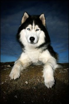 Siberian Husky named Kaldur (Cold), by Iris Mey