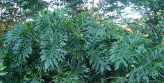 Filodendros: plantas que devem ser plantada na sombra e necessitam de irrigação abundante. Algumas espécies podem atingir 3 m de altura e outras podem ser plantadas em vasos.