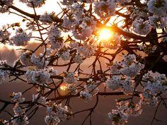 Sonnenaufgang über dem Kischblütenmeer.