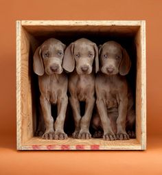 Crate trained. Photo by William Wegman