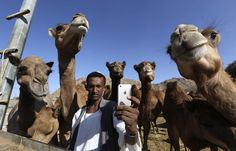 "A man takes a ""selfie"" with camels at a farm in Taif November 1, 2014. Saudi Arabia said late on Wednesday it had detected six new cases of the deadly Middle East Respiratory Syndrome (MERS) in 24 hours, the biggest daily jump for months with officials blaming lax hospital procedures. Scientists are not sure of the origin of the virus, but several studies have linked it to camels and some experts think it is being passed to humans through close physical contactorthroughconsumptioncamel…"