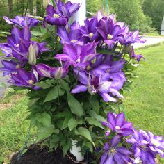 "Perennial.  Climbing clematis vine.  Happiest with cool shade at their roots and warm sun on their foliage.  Anything more than 1/2"" in diameter is too wide for the leaf stem to twist around."