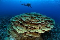 In the introduction page, all the corals metioned are hard corals as those are the ones that will build reefs. National Geographic, Hard Coral, Community, Photo And Video, Places, Nature, Instagram, Videos, Photos
