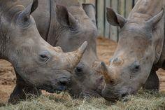 Munching | Flickr: Intercambio de fotos Houston Zoo
