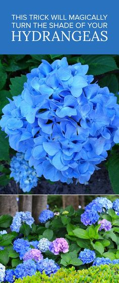 Garden Landscaping This Trick Will Magically Turn the Shade of Your Hydrangeas - If you've ever admired a hydrangea bush blooming in all sorts of pastel shades, you'll be happy to know that the look is achieved by a simple science trick! Hortensia Hydrangea, Hydrangea Bush, Hydrangea Colors, Hydrangea Garden, Garden Shrubs, Shade Garden, Lawn And Garden, Garden Plants, Garden Landscaping
