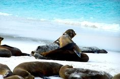 Sea Lions on a Beach in the Galapagos