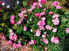 Austlig Rose Mundi.