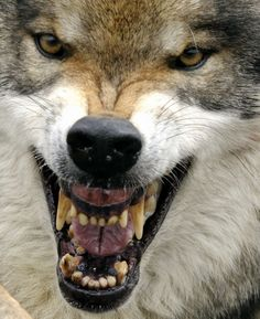 Animal Extreme Close-up - Wolf