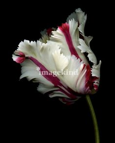 White and Red Parrot Tulip | Oscar Gutierrez