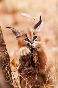 Another adorable shot of a caracal kitten by Anthony Ponzo on 500px