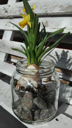 Narsissi lasipurkissa
