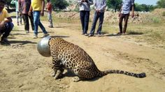 Thirsty India leopard gets head stuck in pot - BBC News