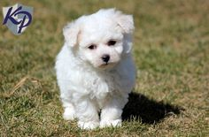 Honey – Bichon Frise Puppies for Sale in PA | Keystone Puppies
