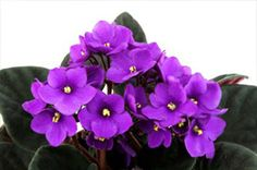 African Violet Plants (Saintpaulia) are winter plants that grow well indoors. Want one for my bathroom. Winter Plants, Winter Flowers, Winter Garden, Saintpaulia, Wonderful Flowers, Little Flowers, Plantar, Container Plants, Container Gardening