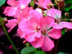 GERÁNEO Este geraneo rosa se suele tener mucho en las casas. Los puede haber de otros colores como blancos, rojos, multicolores...