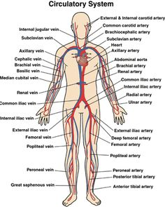 Veins in the body