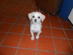 Daysy: Terrier, Dog; Nogales, AZ
