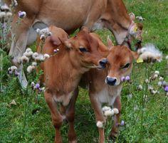 animals cows farm calves farming livestock calf cattle jersey cow ...