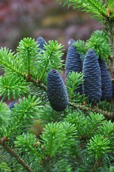 The cones on a Abies koreana 'Lippetal'