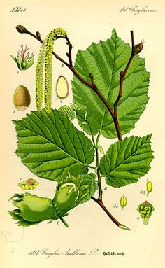 Gemeine Hasel (Corylus avellana), Illustration A Zweig mit männlichen Blütenkätzchen, B Zweig mit Laubblättern, C Haselnuss in ihren Hüllblättern, 4 weibliche Blüte, besteht nur aus Fruchtknoten und roter Narbe, 5 reife Haselnuss.