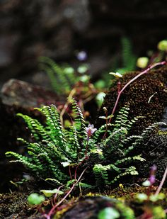 ancient woodland Lerryn of St Winnows/St Veep -Cornwall moss, maiden hair fern and ivy-leaved toadflax