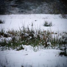 """I sne står urt og busk i skjul..."" også på Vestfyn#visitfyn #fyn #nature #naturelovers #natur #denmark #danmark #dänemark #landscape #nofilter #assens #mitassens #vildmedfyn #fynerfin #assensnatur #vielskernaturen #visitassens #instapic #picoftheday #flora #november #snow #sne"
