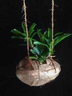 Reutilización de cáscara de coco como maceta