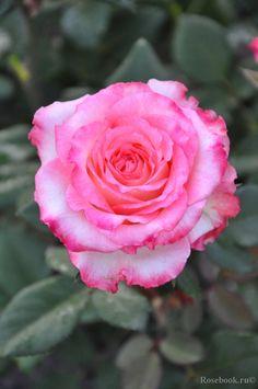 ~Srezochnyh (Florist Rose) rose 'Duett', Kordes,Germany,2000