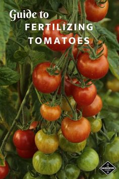 Learn how to grow healthy tomatoes in your garden with this guide on how and when to fertilize tomatoes for the best growth and flavor. #gardeningchannel #gardening #growingtomatoes #fertilizingtomatoes