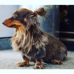 """The better man bun (from @goliath_the_sausagedog on Instagram) """