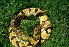 Canebreak Rattlesnake: U.S. Fish and Wildlife Service. Also known as timber rattlesnakes, these rattlers live in the eastern United States. They can deliver a venomous bite, but usually strike out only when threatened.