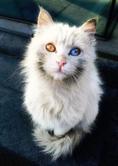 Fire and Ice. Beautiful cat with different colored eyes. @ashlieils