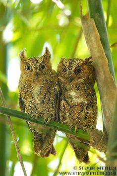 ˚Sulawesi Scops Owls