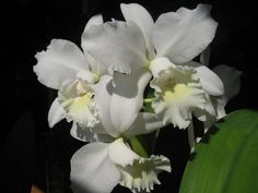 White Cattleya orchids Vanda Orchids, Cattleya Orchid, White Plants, Heat Pack, Orchid Care, White Flowers, Roots, Wedding Flowers, Exotic